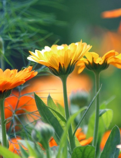 souci orange des jardins pour abeilles, fleurs comestibles à cultiver sur un balcon, un pot ou jardinière