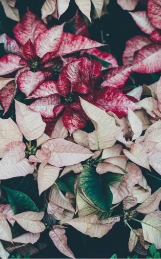culture poinsettia en hiver, fleur de noel, rouge et blanc
