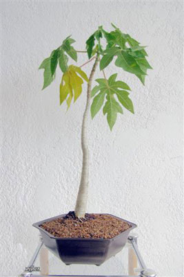 Negozio Bonsai Semi di Papaya Carica Papaya