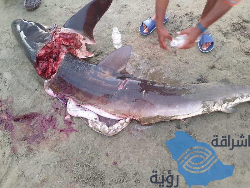 فيديو.. سمكة قرش تثير الرعب بشواطئ القنفذة.. ومرتادو الشاطئ يقتـلونها