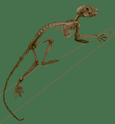 mouse skeletal diagram 220v plug wiring boneviewer eskeletons