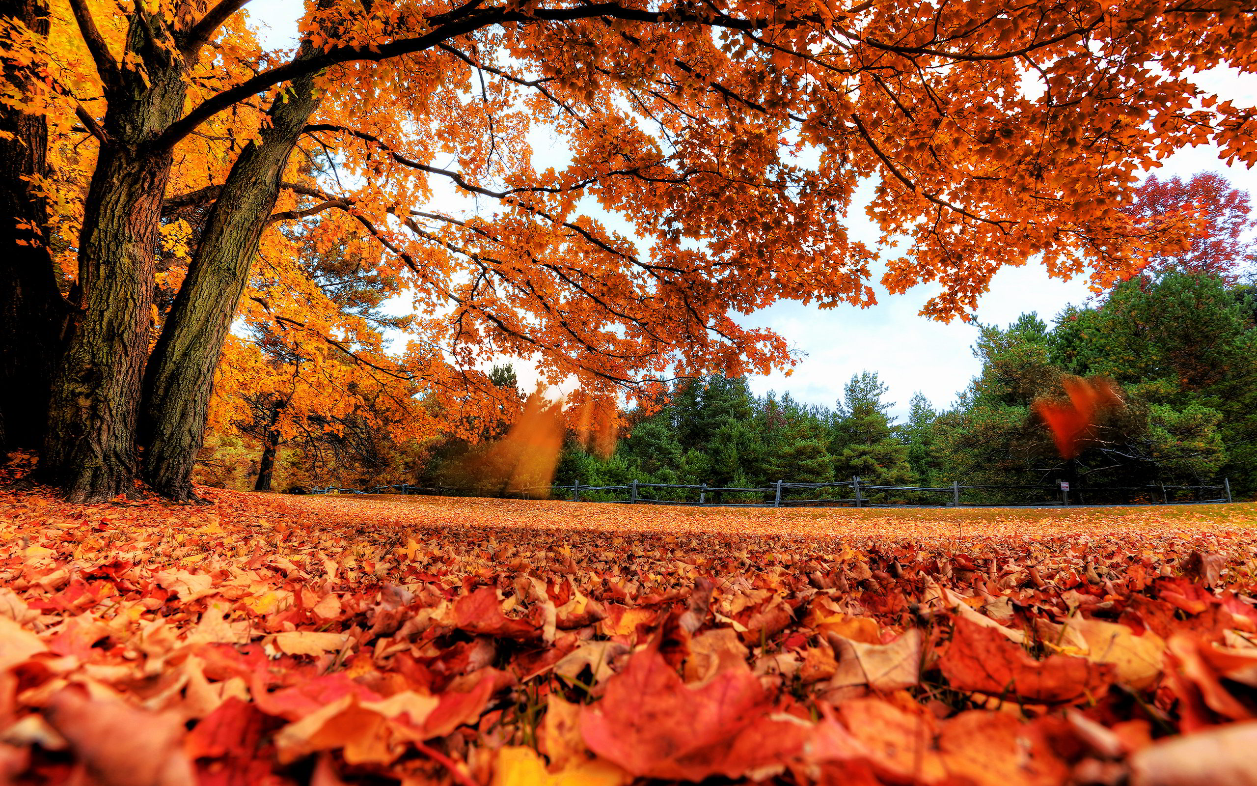 Image result for autumn maple leaves