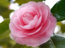 Camellia blooms wallpaper   1920x1200   #29608