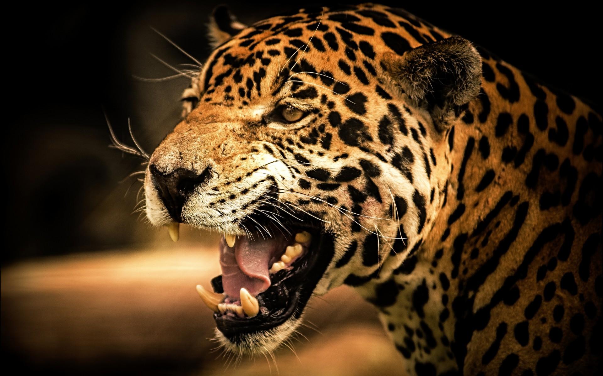 Leopard And Jaguar Size