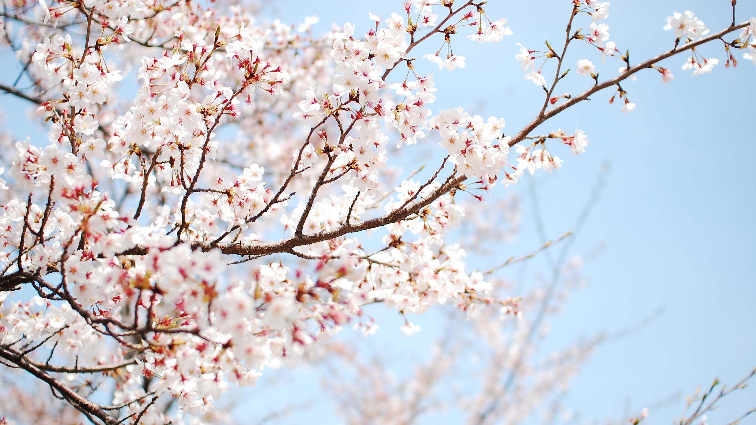 cherry blossom wallpaper 2560x1440