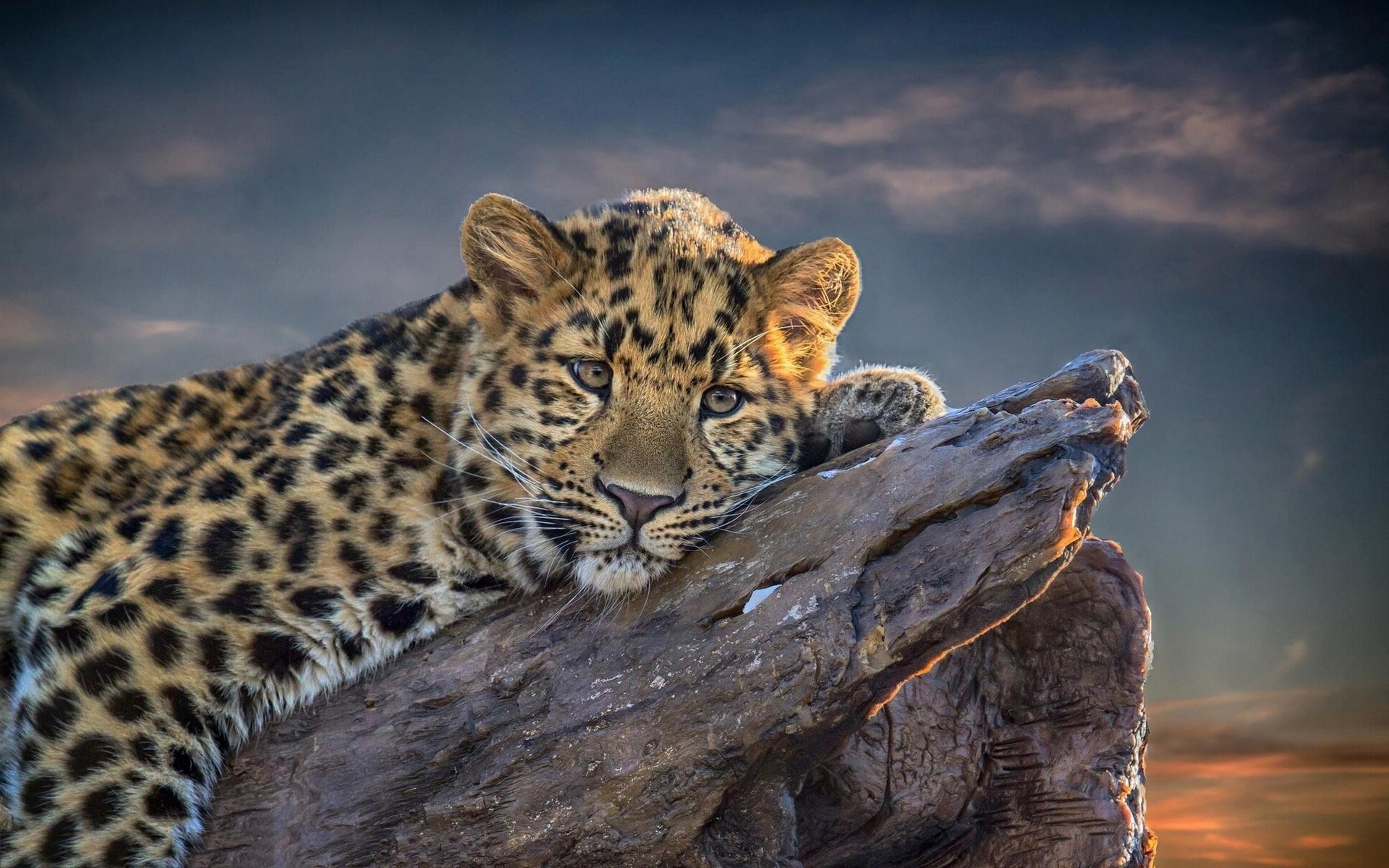 tiger wallpaper | 1440x900 | #36733