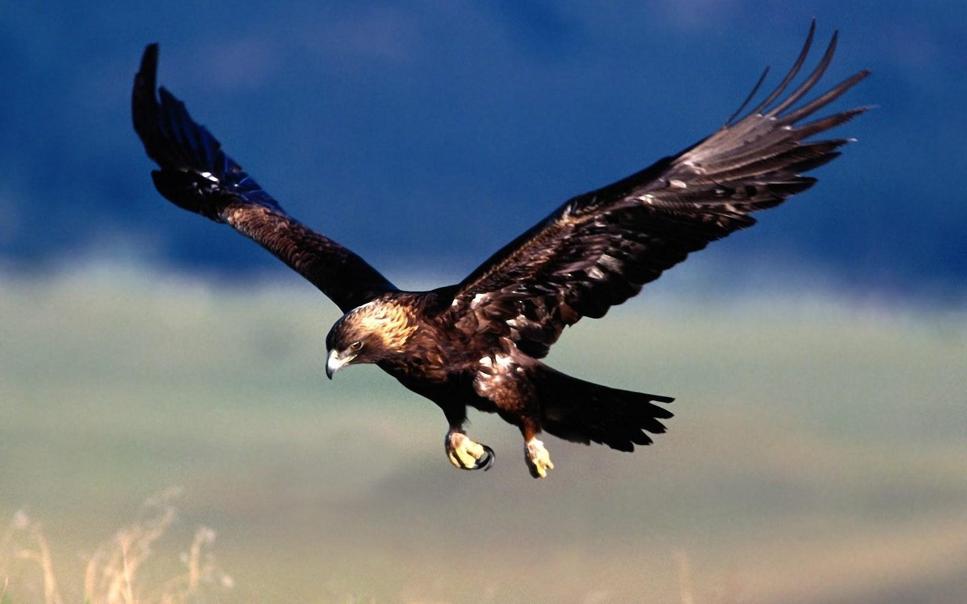 flying hawk wallpaper 1920x1200