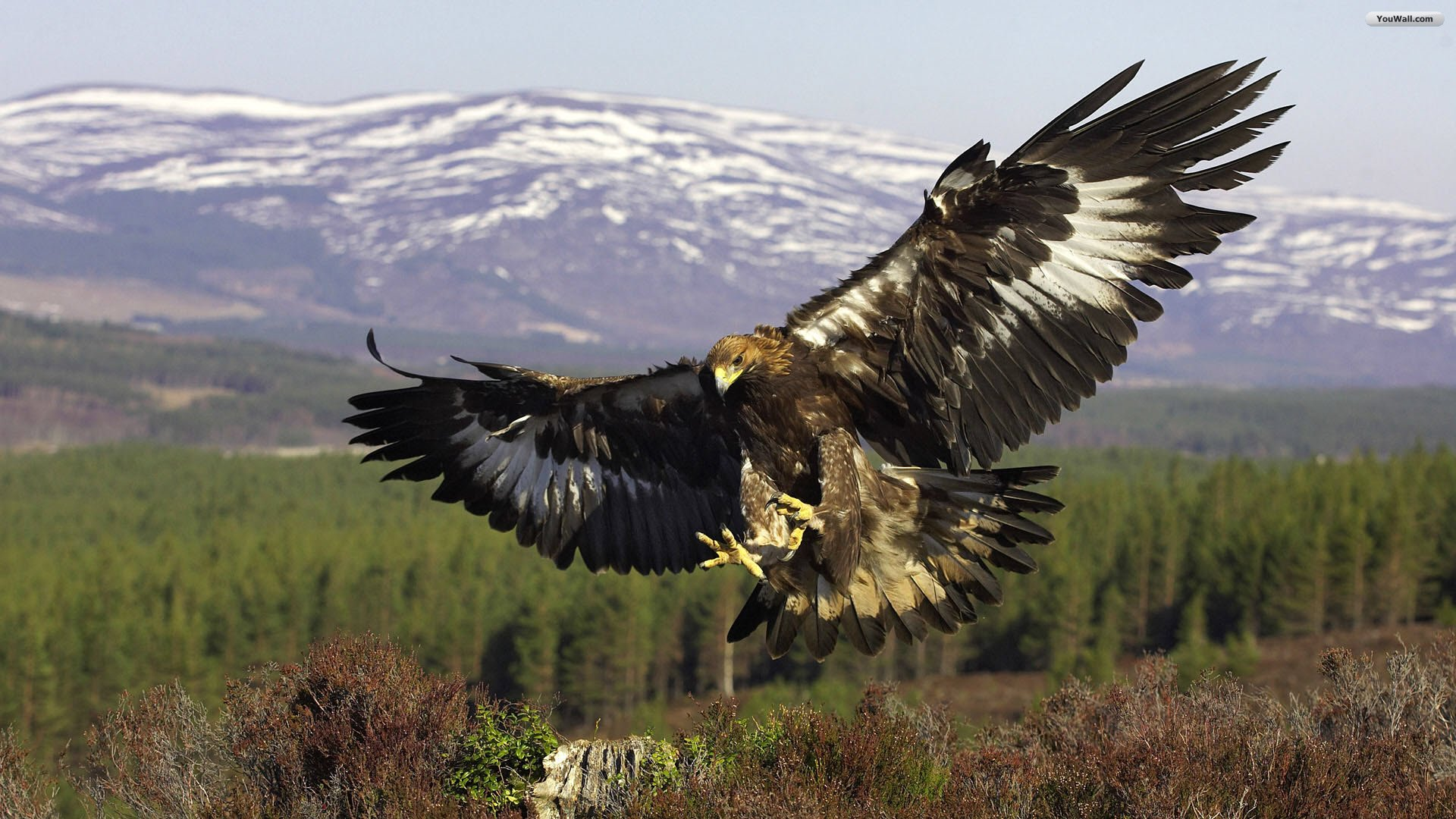 flying hawk wallpaper 1920x1080