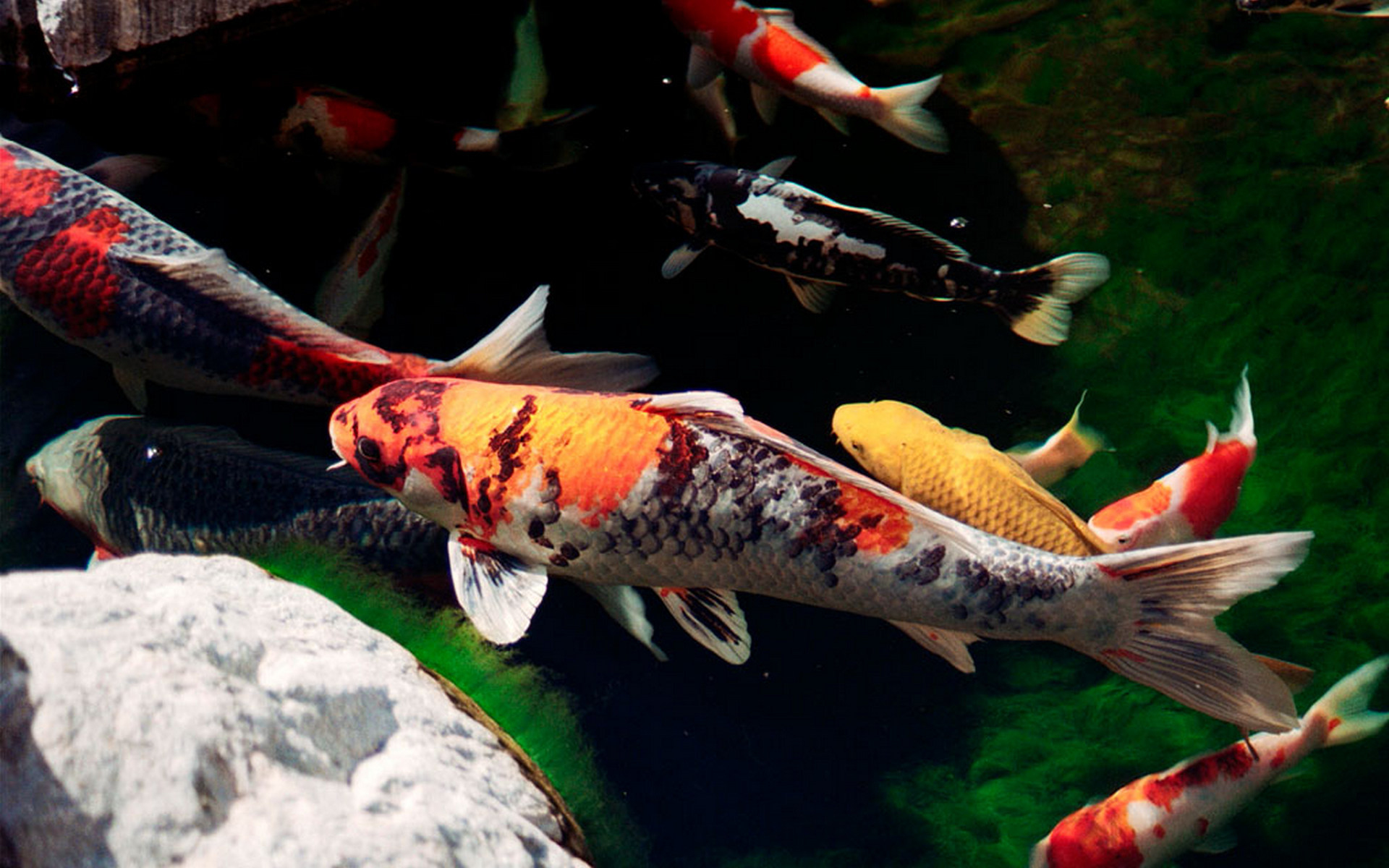 Arowana Fish 3d Live Wallpaper Baby Tiger Wallpaper 1920x1080 74457