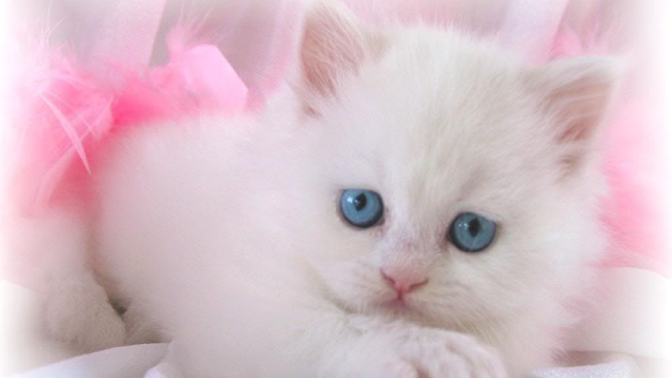 lovely white cat wallpaper | 1366x768 | #13745