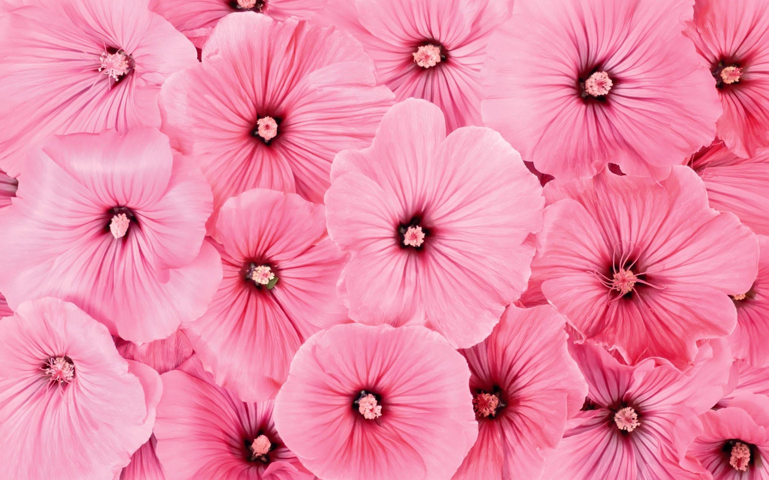 Beautiful Colorful Girls Anime Sakura Wallpaper Pink Flowers Wallpaper 2560x1600 51768