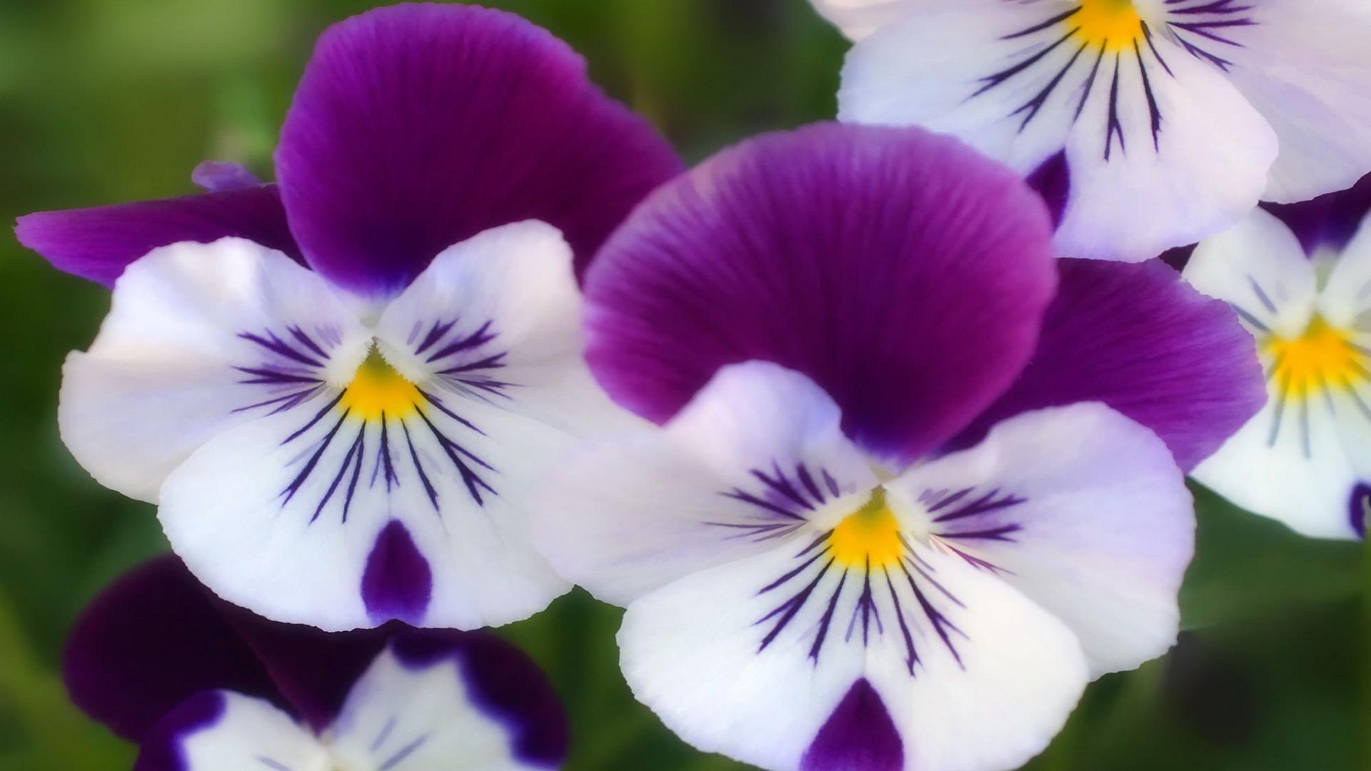 Purple white flowers wallpaper  1920x1080  31516