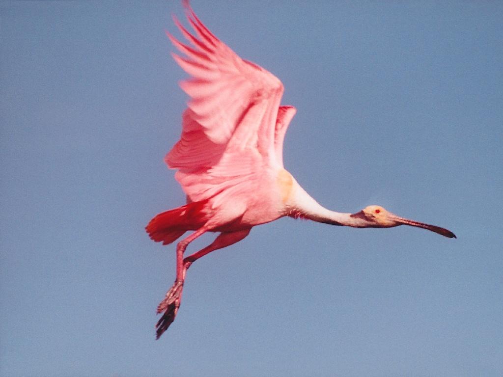 https://i0.wp.com/eskipaper.com/images/roseate-spoonbill-bird-1.jpg