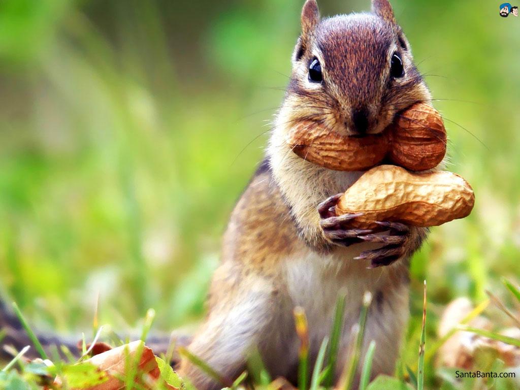 Fall Chipmunk Hd Wallpapers Squirrel Wallpaper 1024x768 59116