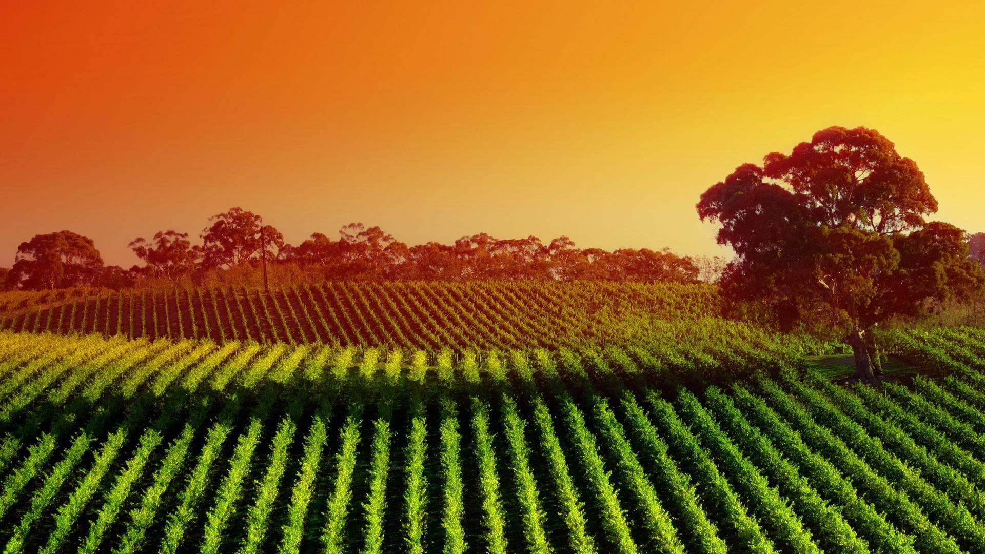 Vineyard Wallpaper 1920x1080 67184