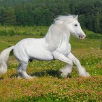 White Horse Wallpaper 1157x768 84594