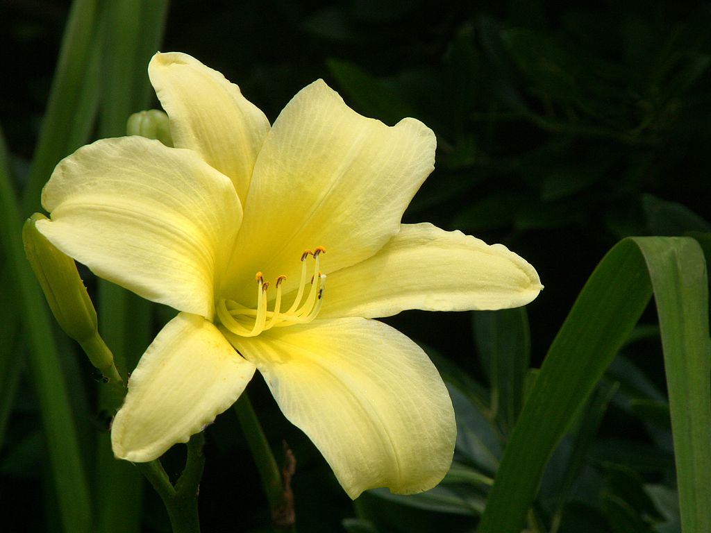 day lily wallpapers