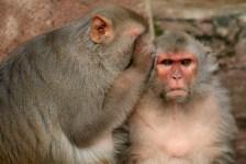 macacos con un chip en el cerebro