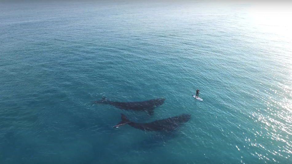 Drone Captures Beautiful Footage Of Whales Swimming Near
