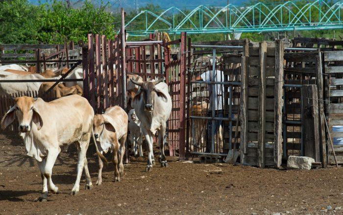 Logran erradicar garrapatas que amenazó ganado en Yabucoa