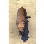 Abecean Ratter Cat