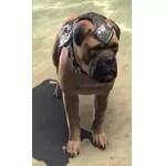 Alliance War Dog (Aldmeri Dominion)