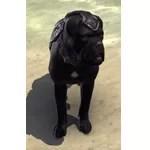 Alliance War Dog (Ebonheart Pact)