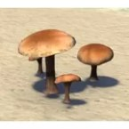 Mushroom, Brown Gilled