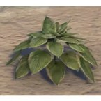Plant, Verdant Hosta