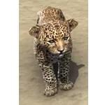 Senche-Leopard Cub