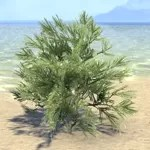 Bush, Summerset Spruce