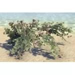 Plant, Sea Grapes