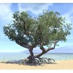 Tree, Solitary Mangrove