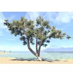Tree, Young Sea Grapes