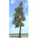 Sapling, Foothills Pine