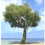 Tree, Mossy Sycamore