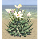 Cactus, Lily Flower