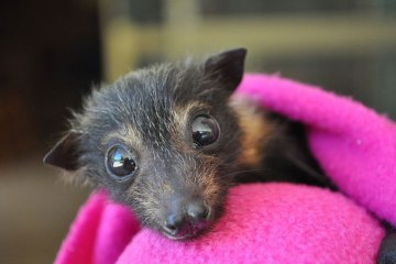abandoned-baby-bat-pup-tolga-bat-hospital-20