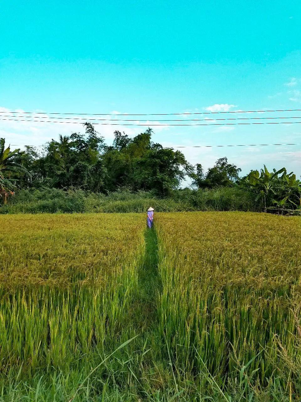 Mujer vietnamita entre campos de arroz
