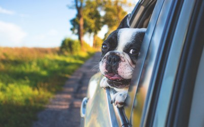 Cómo llevar a tus mascotas en el auto