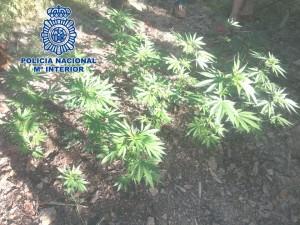 Imagen plantación de marihuana.jpg