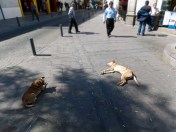 Dogs from Arequipa