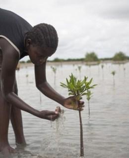 Enfant plantant une mangrove