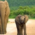 Eléphants lors d'un voyage en Afrique du Sud