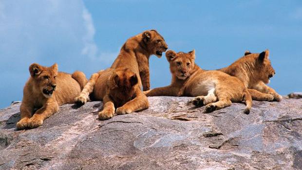Lionnes dans le Sérengeti en Tanzanie