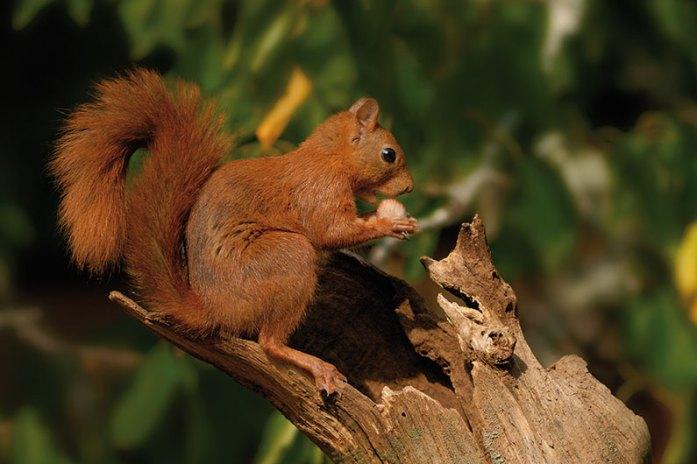 Écureuil roux © Photo Pierre Boitrel