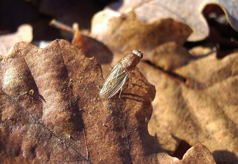 Hélomyza, la mouche à truffes. © Michel Autier