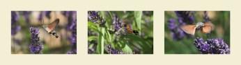 Macroglossum stellatarum (Moro sphynx)