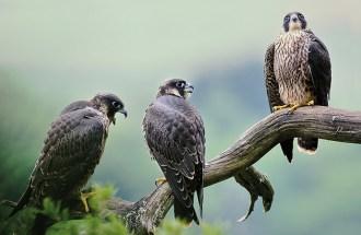Trois jeunes faucons pèlerins perchés sur une branche