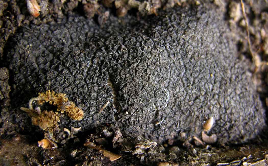 La Truffe : un peu de botanique